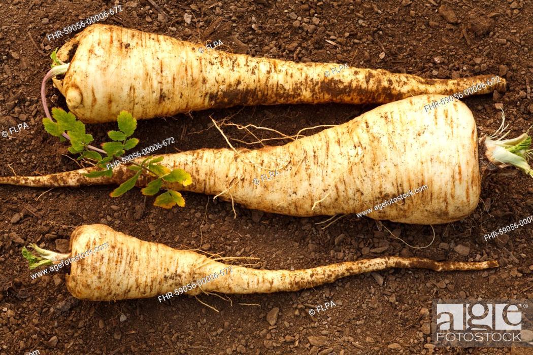 Stock Photo: Parsnip Pastinaca sativa 'Javelin F1' variety, freshly dug roots, Powys, Wales, January.