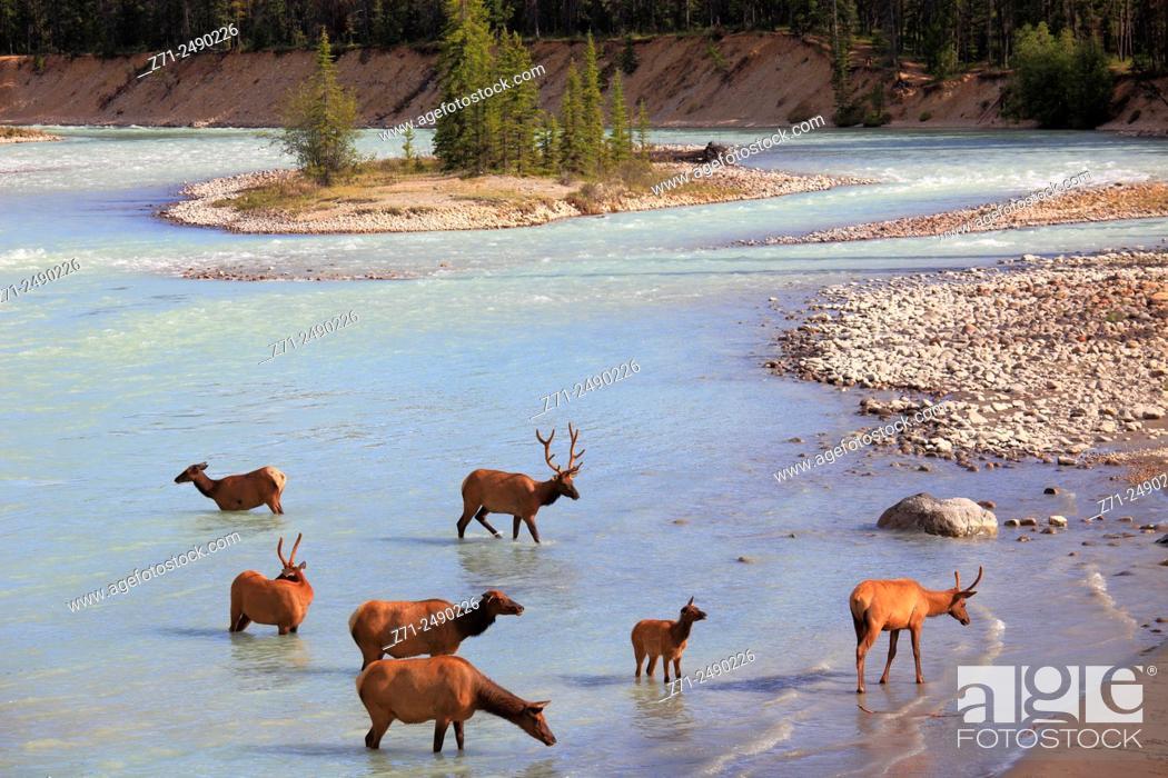 Stock Photo: Canada, Alberta, Jasper National Park, Athabasca River, elk, cervus canadensis,.