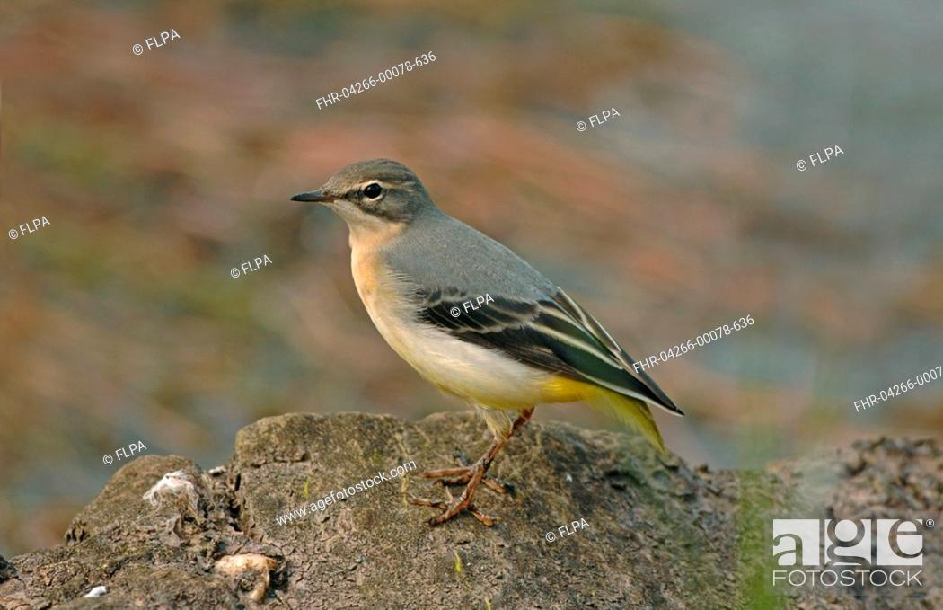 Stock Photo: Grey Wagtail Montacilla cinerea juvenile, without tail, standing on rock, England.