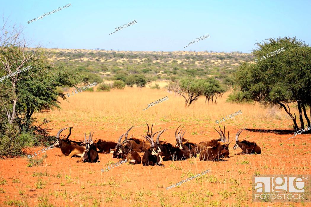 Stock Photo: Sable Antelope, (Hippotragus niger), group of adults resting, Tswalu Game Reserve, Kalahari, Northern Cape, South Africa, Africa.