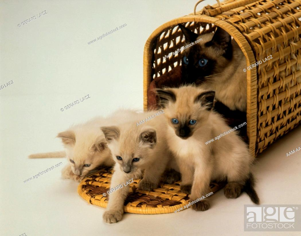 Balinese Kittens In Basket Stock Photo Picture And Rights