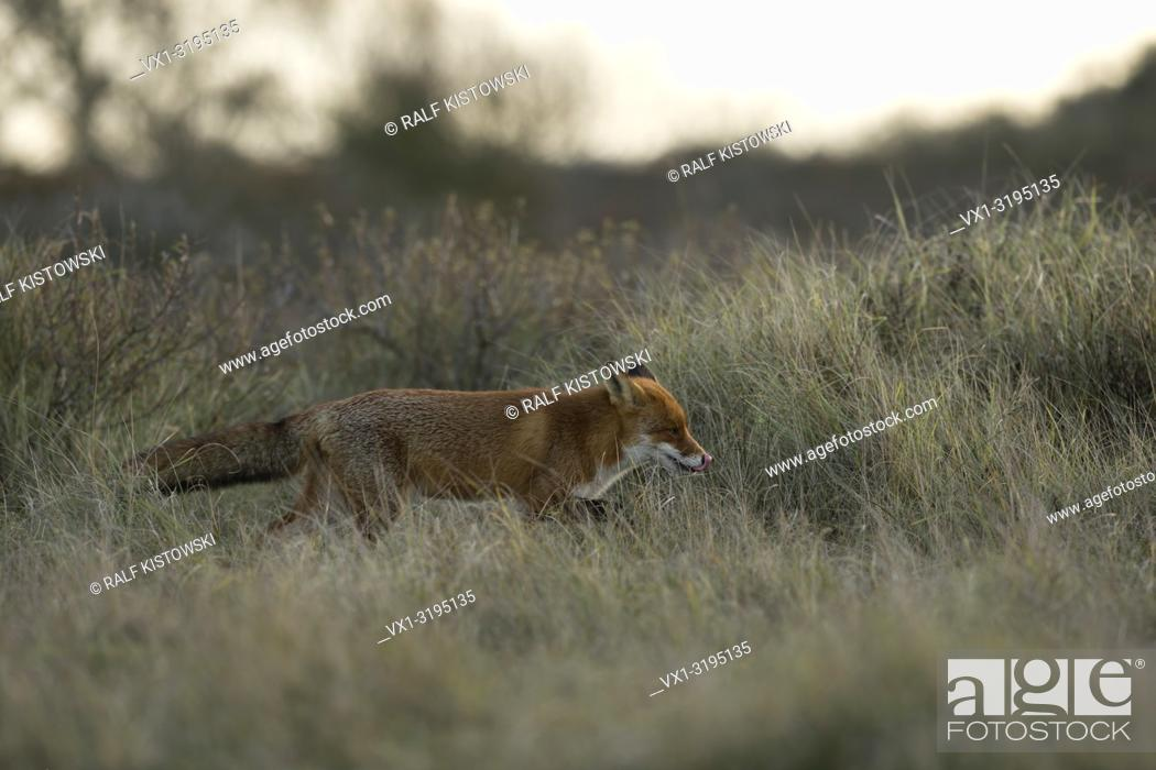 Stock Photo: Red Fox (Vulpes vulpes) in soft backlight sneaks through high grass, searching for mice, licking its tongue. .