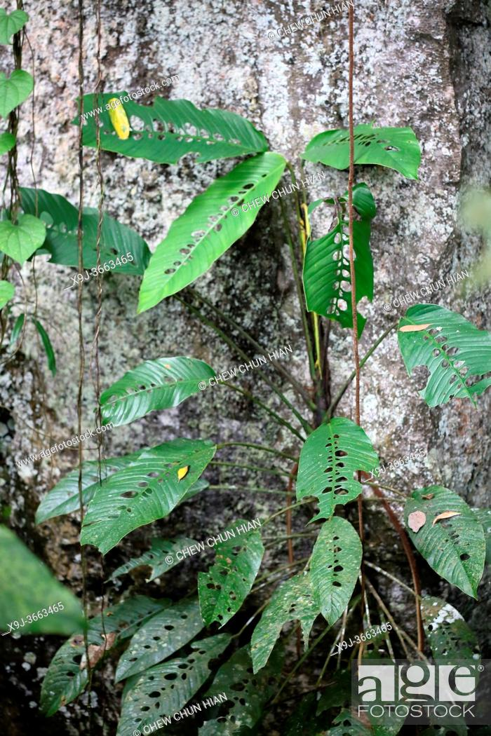Stock Photo: Leaf in the nature, Nephthytis a species of flowering plants in the family Araceae, borneo, Asia.