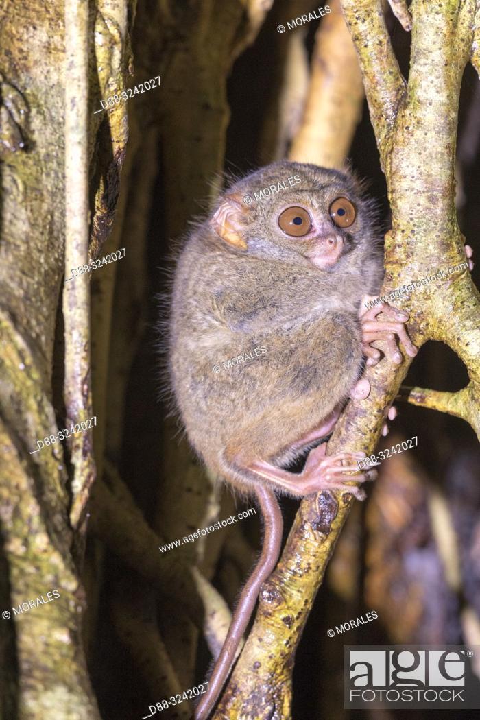 Stock Photo: Asia, Indonesia, Celebes, Sulawesi, Tangkoko National Park, . Spectral tarsier (Tarsius spectrum, also called Tarsius tarsier).