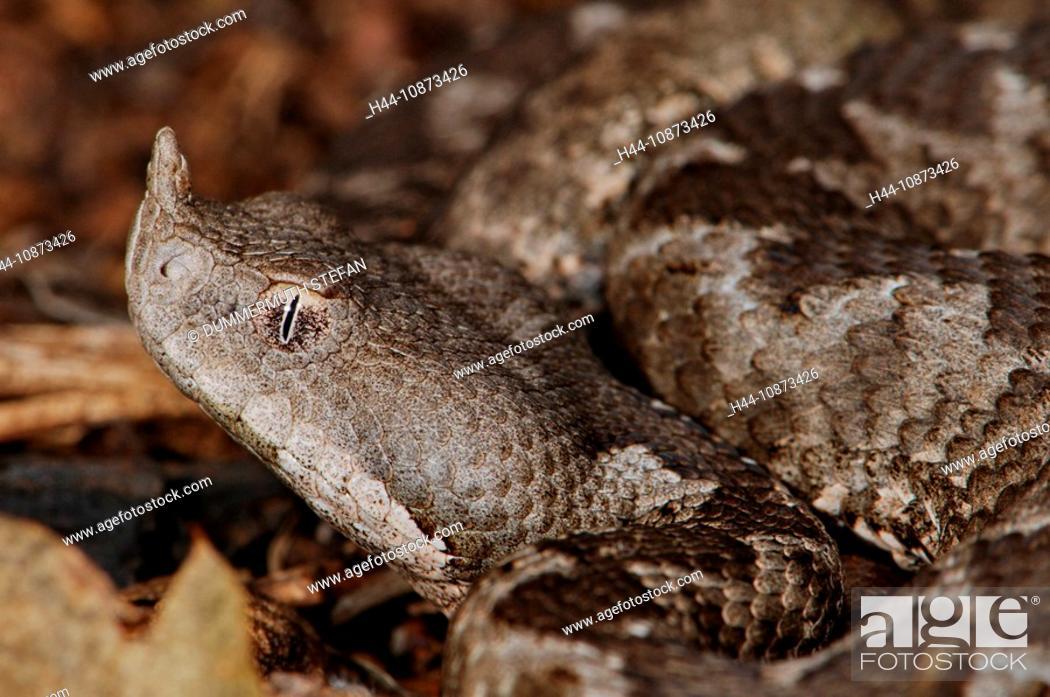 Stock Photo: Horn- oder Sandotter Vipera ammodytes meridionalis, Portrait.