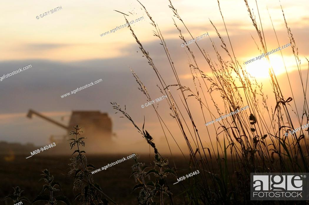 Stock Photo: Combine harvester at sunset with arable weeds in foreground, UK, August.