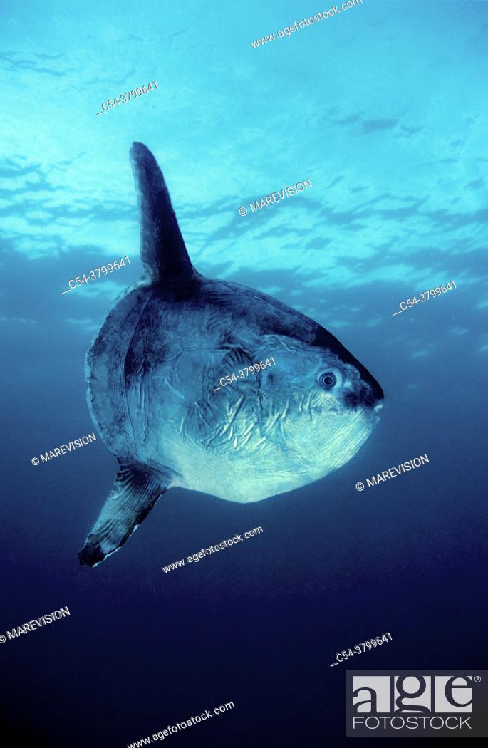 Stock Photo: The ocean sunfish or common mola (Mola mola) is one of the heaviest known bony fishes in the world. Adults typically weigh between 247 and 1, 000 kg (545–2.