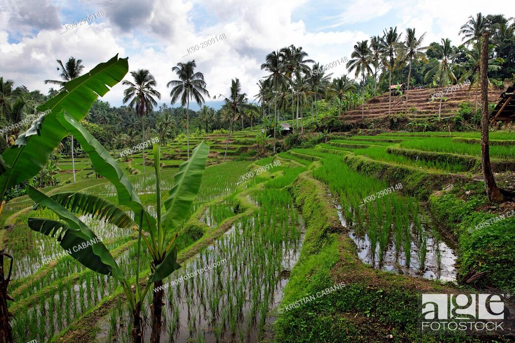 Stock Photo: Rice paddies cultivated as rice terraces with coconut palmtrees in the background, Bali, Indonesia, Southeast Asia.