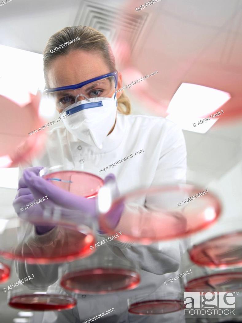 Stock Photo: Scientist using inoculating loop on petri dish.