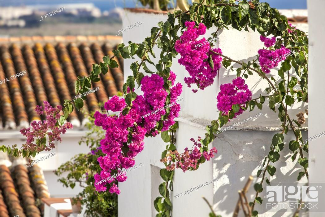 Stock Photo: Bougainvillea with rooftops in the background, Salobreña, Granada, Spain.