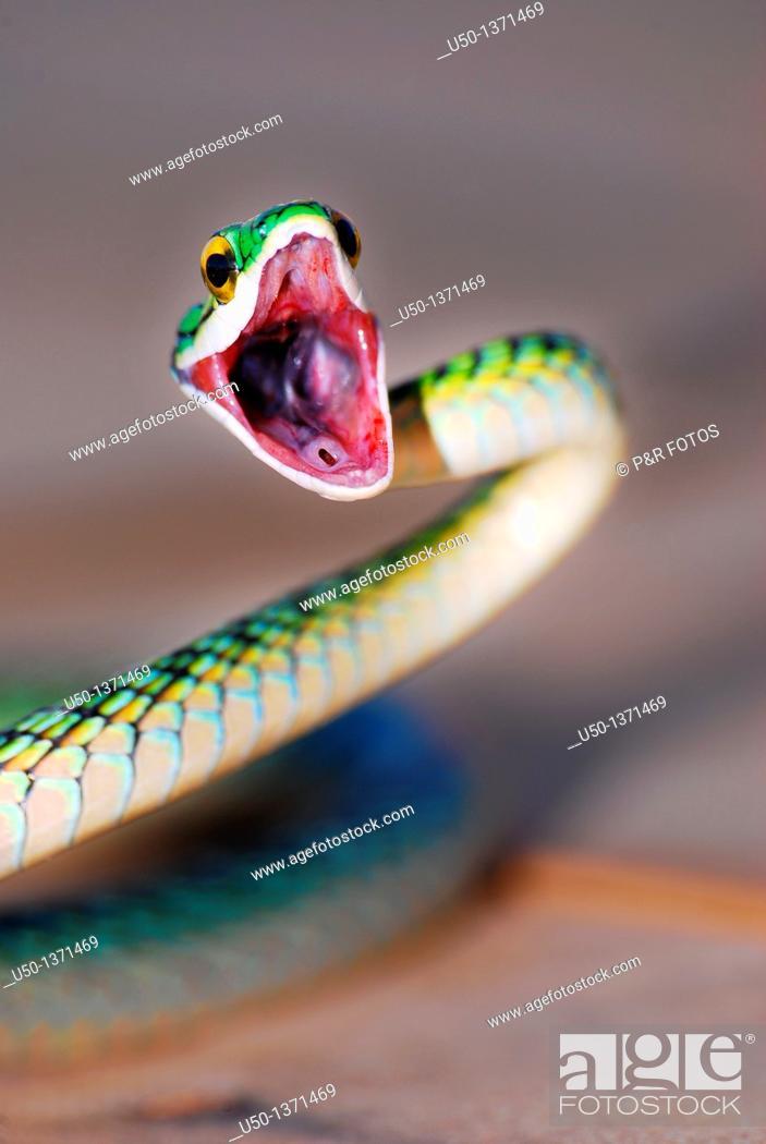 Stock Photo: Nonvenomous snake Colubridae, Acre, Brazil, 2010  50 cm lenght close-up.