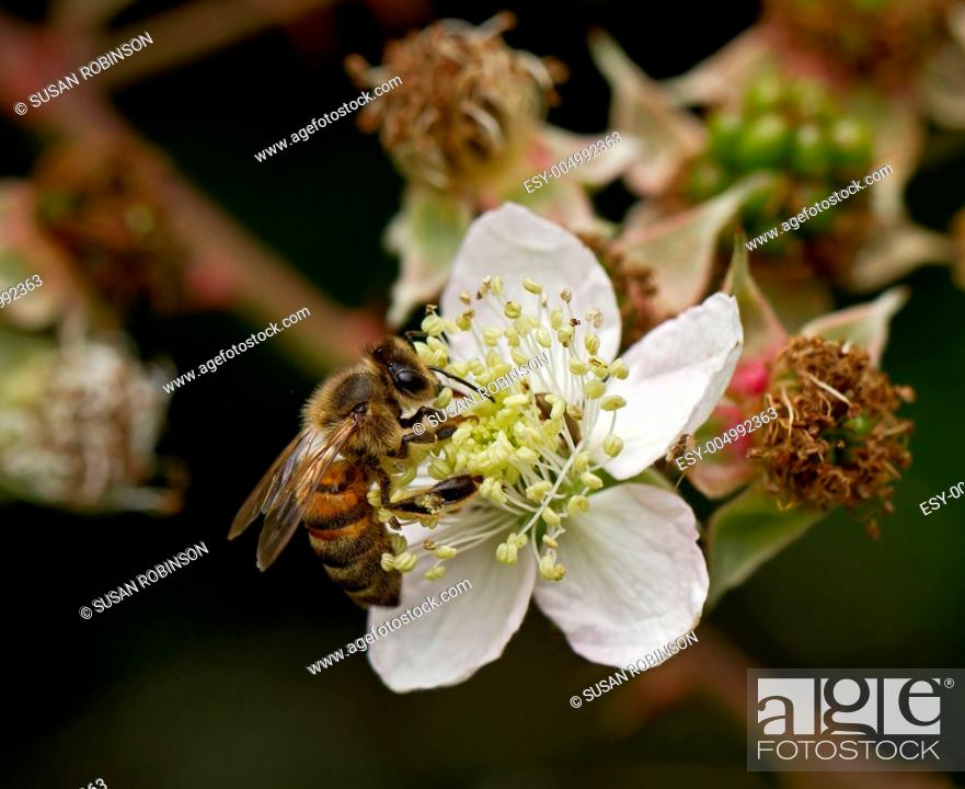 Stock Photo: Honey Bee on Flower.