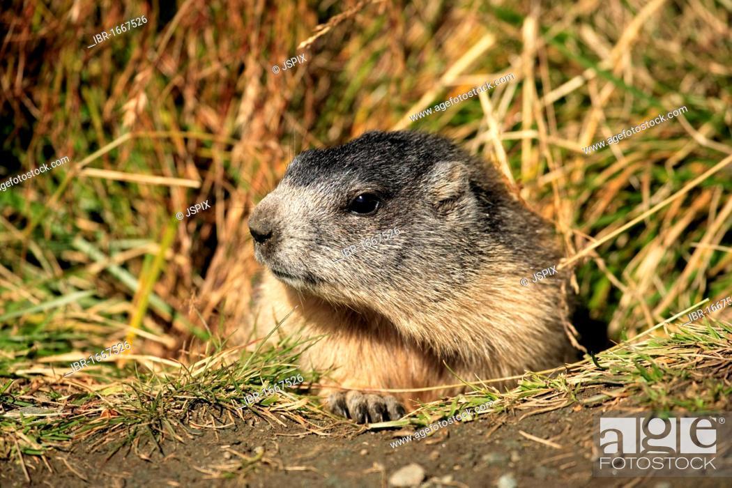 Stock Photo: Alpine Marmot (Marmota marmota), juvenile, portrait, Grossglockner Mountain Range, Hohe Tauern National Park, Austria, Alps, Europe.