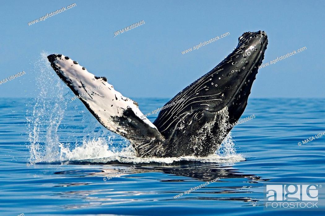 Stock Photo: Humpback Whale, Megaptera novaeangliae, Pacific Ocean, Hawaii, USA.