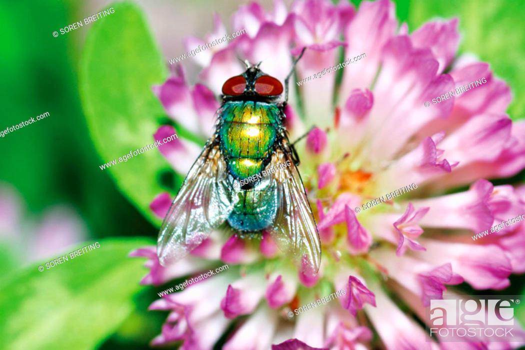 Stock Photo: Green bottlefly (a blow fly) on flowers of red clover (Trifolium pratense). Denmark, Scandinavia. Europe.
