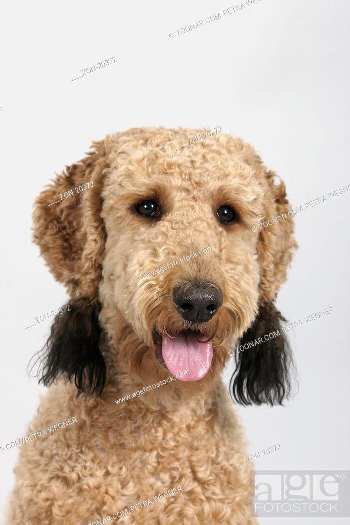 Imagen: Standard Poodle, apricot, sheared / Grosspudel, aprikot, geschoren / Königspudel, Saeugetiere, mammals, animals, Haushund, domestic dog, Haustier, Heimtier, pet.