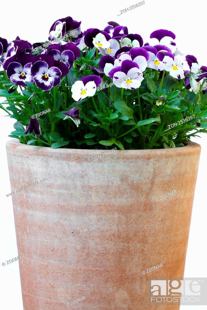 Stock Photo: Hornveilchen Viola cornuta, Stiefmütterchen.