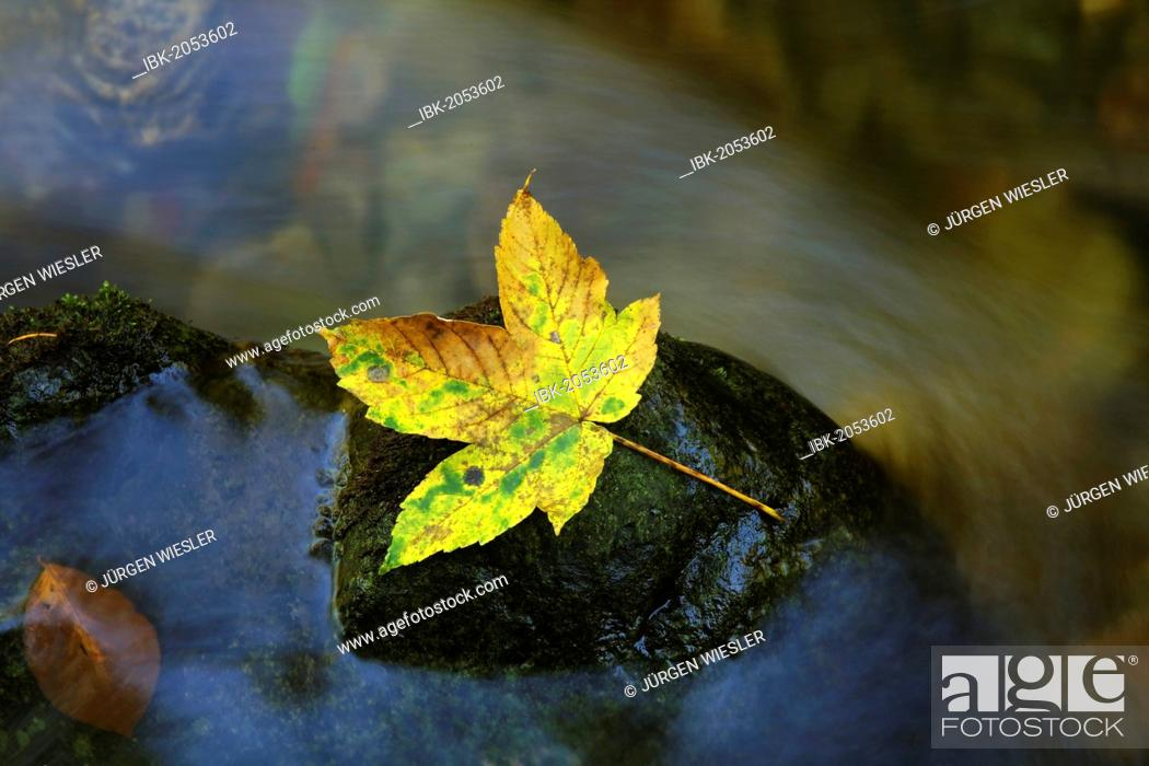 Stock Photo: Autumn leaf on a rock in a stream.