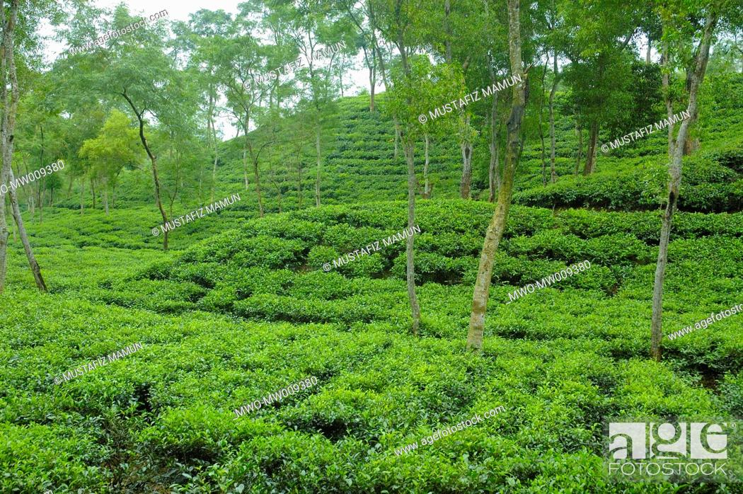malnichara tea garden  sylhet malnichara