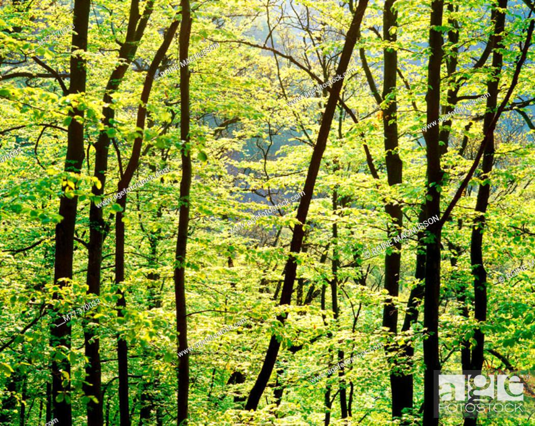Stock Photo: Beech forest (Fagus sylvatica). Skåne. Sweden. Scandinavia.