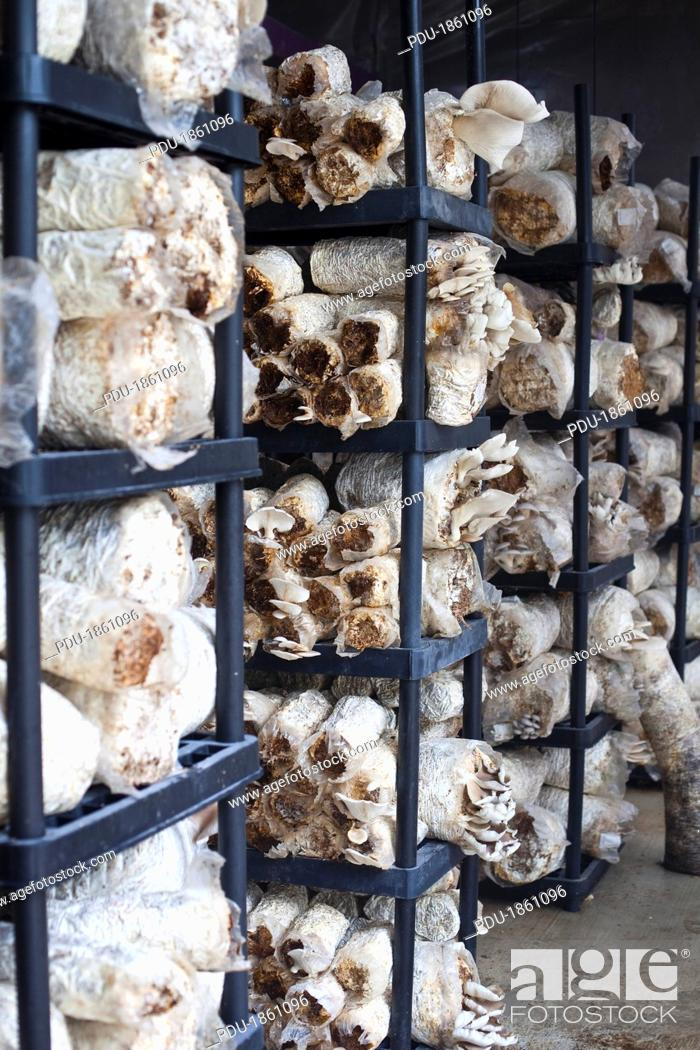 Stock Photo: Racks of oyster mushrooms.
