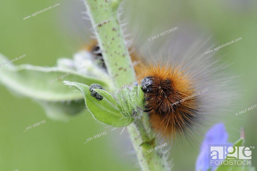 Stock Photo: Woolly Bear ( Arctia caja ) caterpillar of the Garden Tiger Moth feeding on typical plant, Viper's bugloss ( Echium vulgare ), wildlife, Europe.