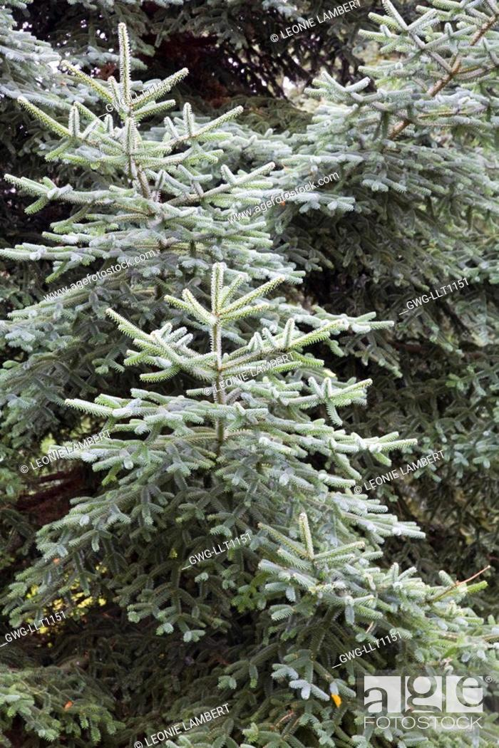 Abies Pinsapo Spanish Fir Stock Photo Picture And Rights Managed
