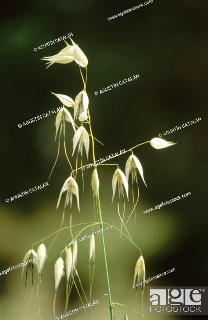 Stock Photo: Oat (Avena sativa).