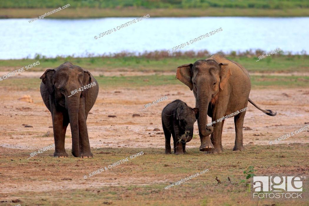 Stock Photo: Sri Lankan elephant (Elephas maximus maximus), group with mother with calf, eating, female, group, Yala National Park, Sri Lanka.