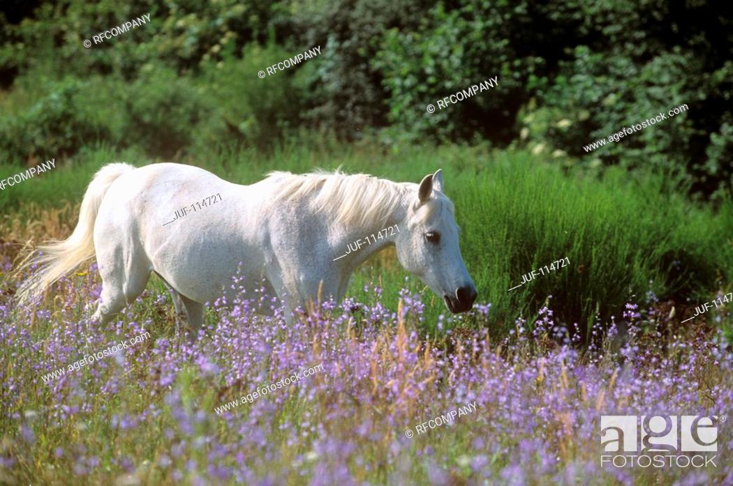 Stock Photo: Connemara - standing on meadow.