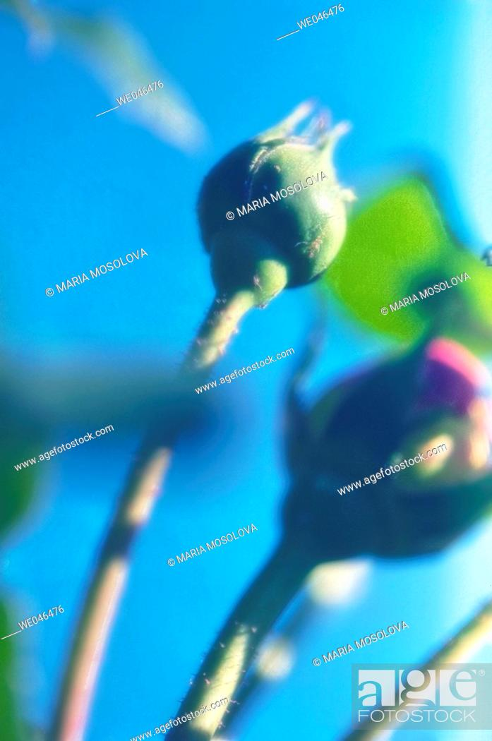 Stock Photo: Rose buds, blue sky. Rosa hybrid, May 2006. Maryland, USA.
