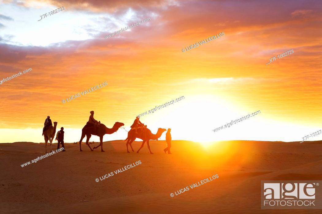 Stock Photo: Tunisia Douz  Desert  dromedaries.