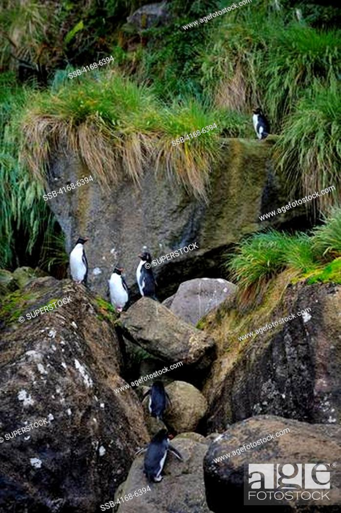 Stock Photo: NEW ZEALAND, SUB-ANTARCTICA, CAMPBELL ISLAND, EASTERN ROCKHOPPER PENGUINS.