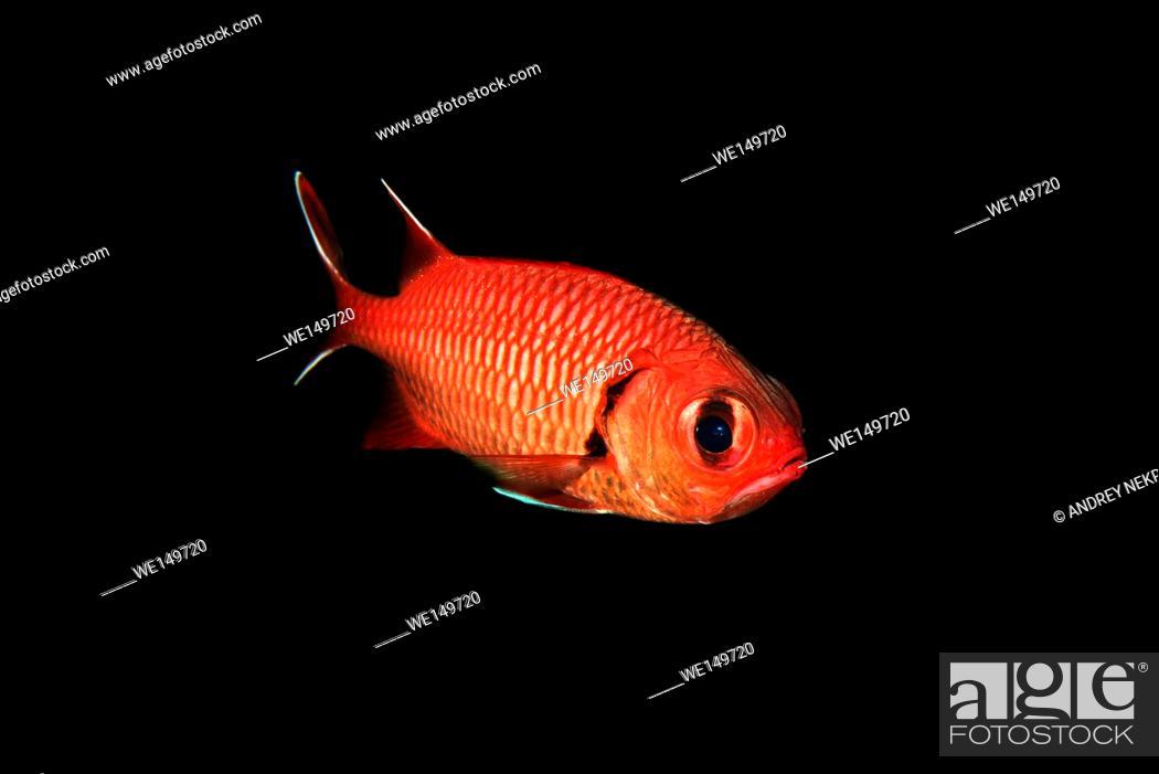 Stock Photo: Pinecone Soldierfish or Big-eye soldierfish (Myripristis murdjan) floats in the black background, Red sea, Sharm El Sheikh, Sinai Peninsula, Egypt.