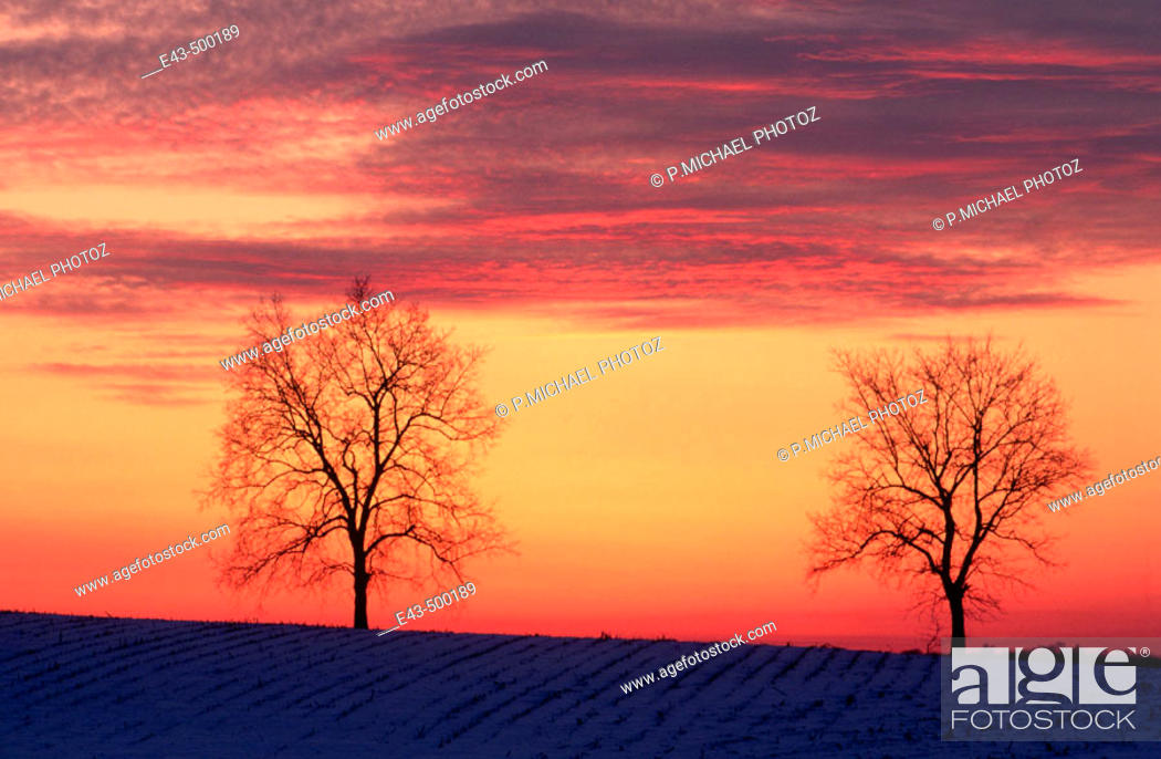 Stock Photo: Trees at sunset in winter.
