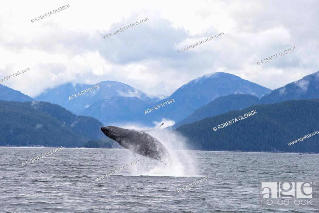 Stock Photo: Humpback whale (Megaptera novaeangliae), breaching, Kitimat Channel, northern British Columbia, Canada.