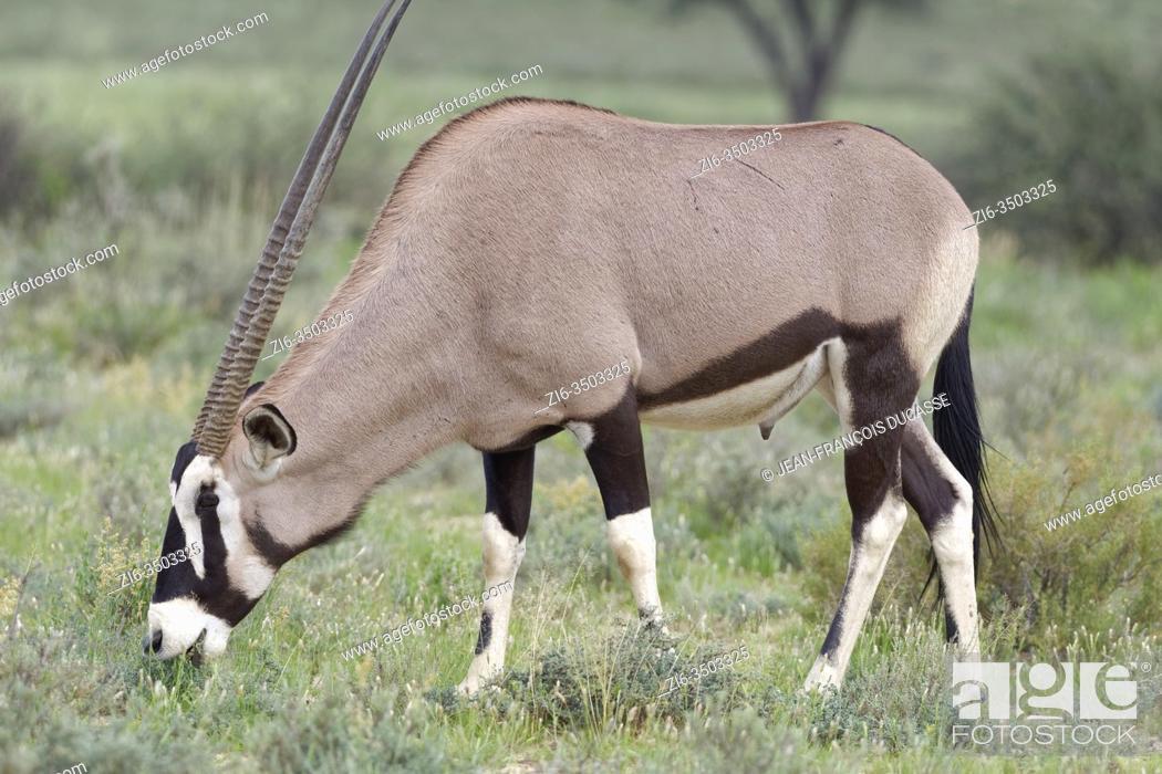 Stock Photo: Gemsbok (Oryx gazella), adult male, grazing on grass, Kgalagadi Transfrontier Park, Northern Cape, South Africa, Africa.
