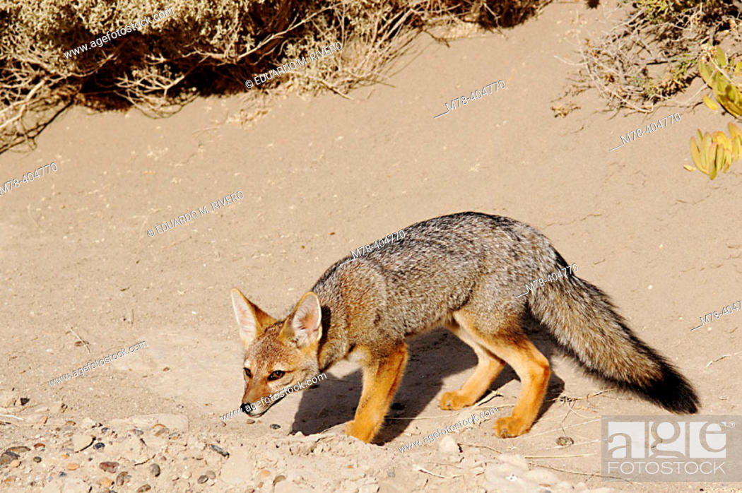 Stock Photo: Argentine Gray Fox (Dusicyon griseus). Valdes Peninsula. Argentina.
