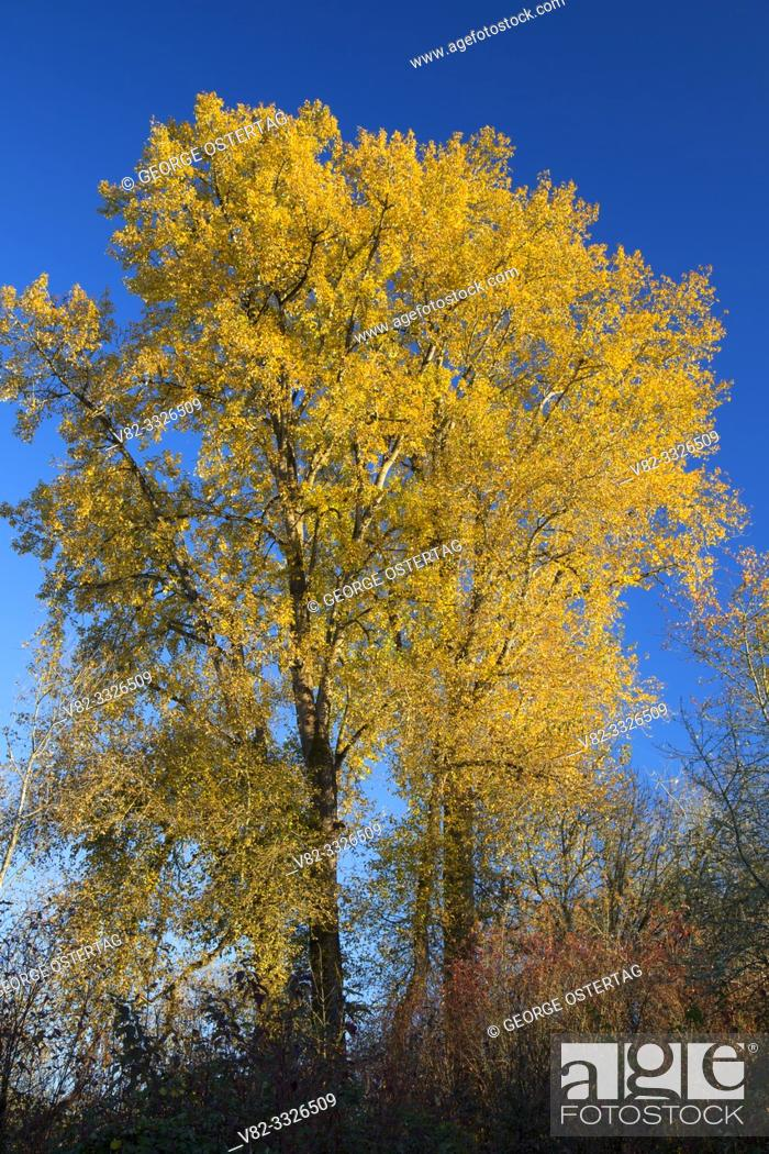 Stock Photo: Cottonwood in autumn, Willamette Mission State Park, Oregon.