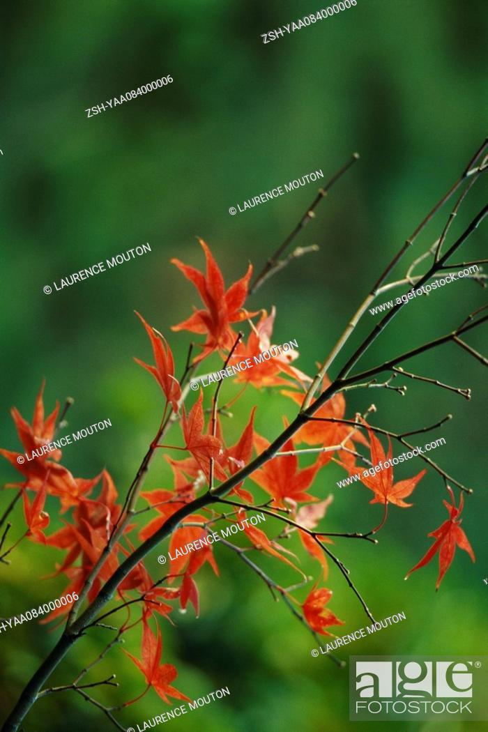 Stock Photo: Autumnal leaves of Japanese Maple.