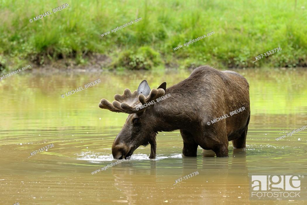 Stock Photo: Moose, Alces alces, Summer, Europe.