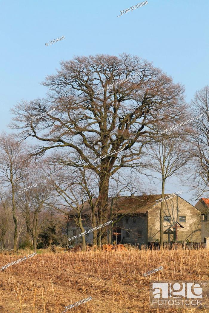 Stock Photo: Ein alter großer Baum an einem alten Bauernhof.