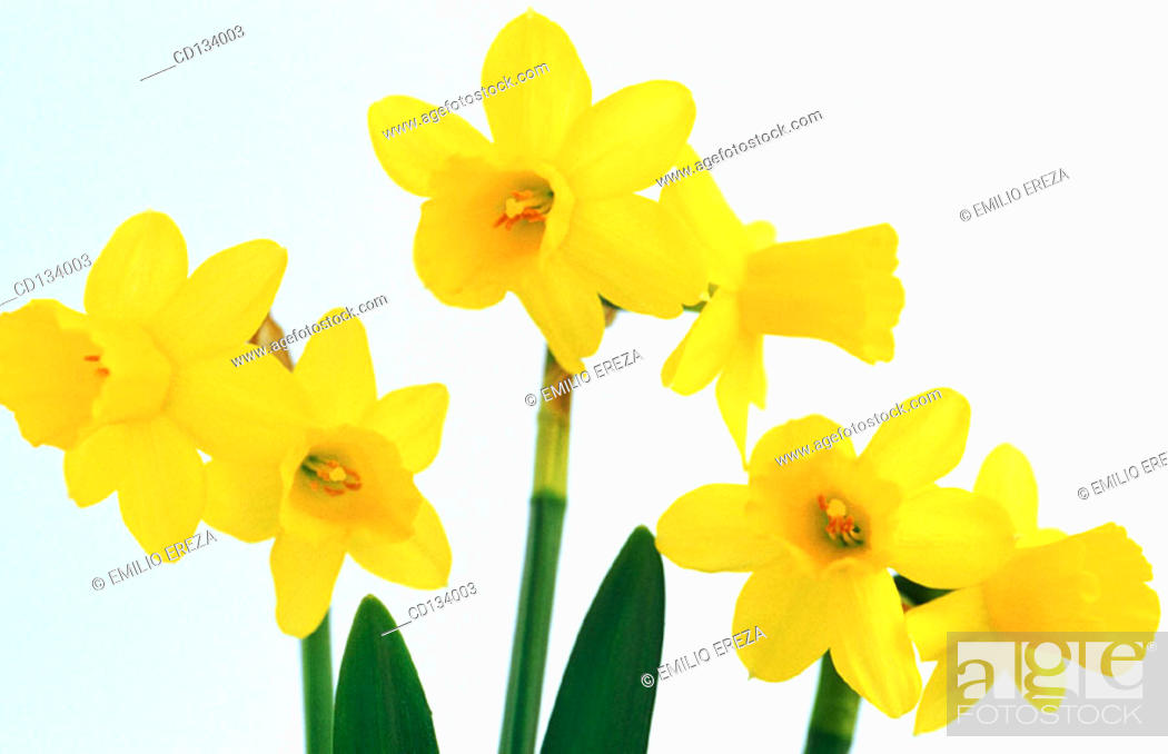 Stock Photo: Daffodil, Narcissus hybr.