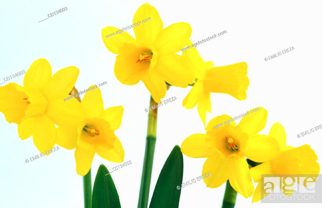 Stock Photo: Daffodil, Narcissus hybr.