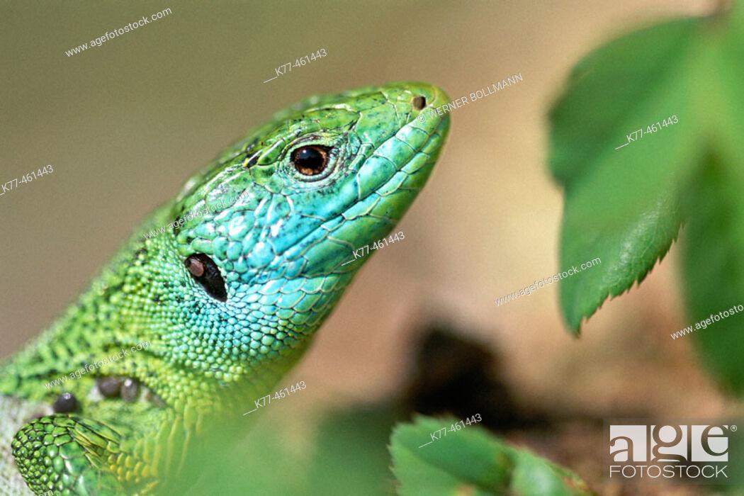 Stock Photo: Green Lizard (Lacerta viridis). Germany.