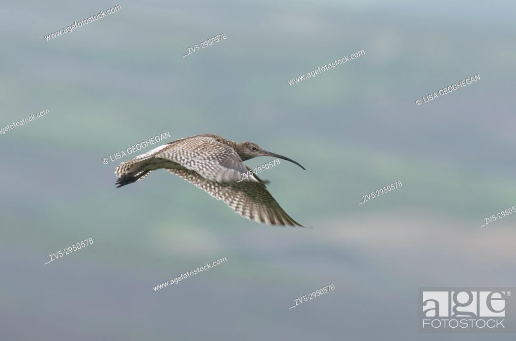 Imagen: Curlew, Numenius-arquata in flight. Uk.