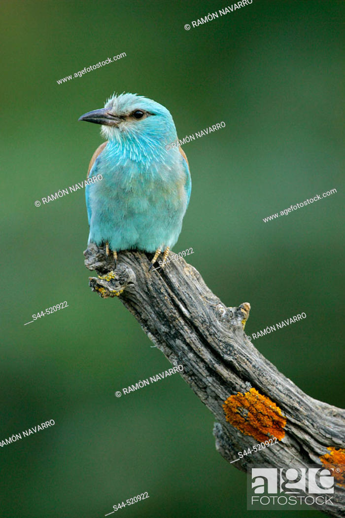 Stock Photo: Roller (Coracias garrulus). Sevilla, Andalusia, Spain.