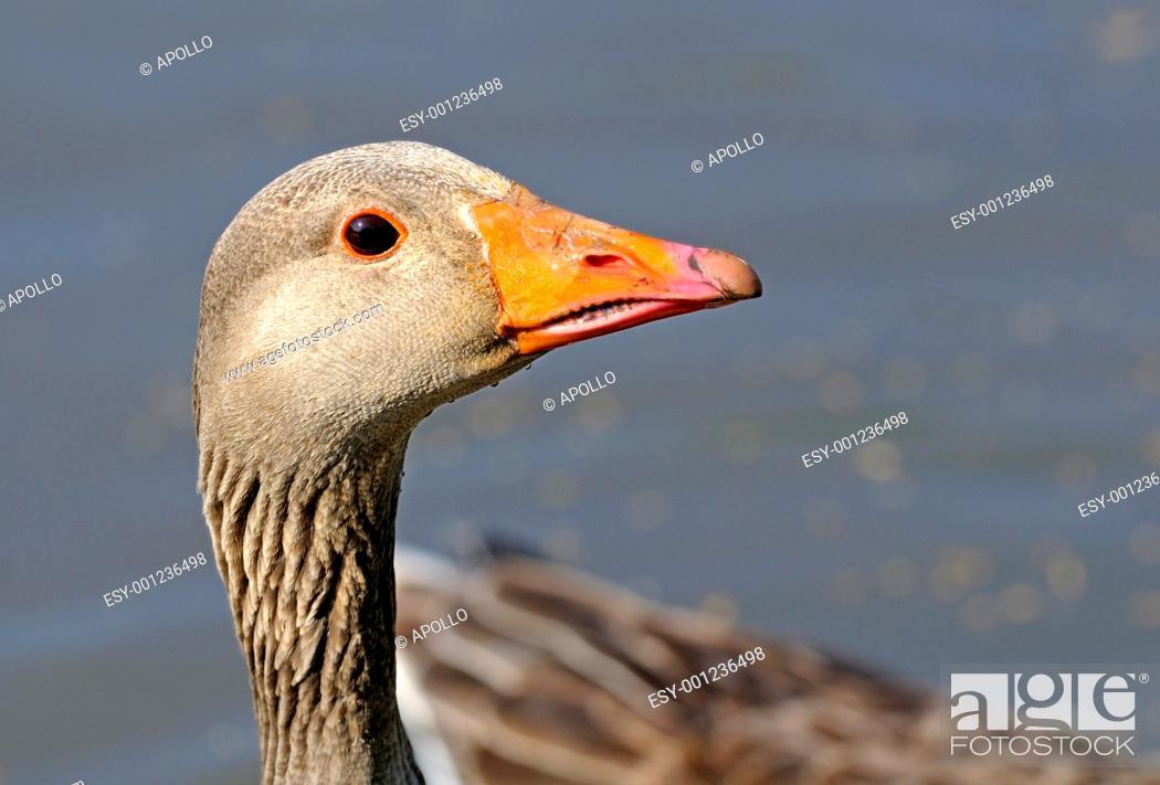 Stock Photo: Portrait of Greylag goose, Anser anser, Camargue, France.