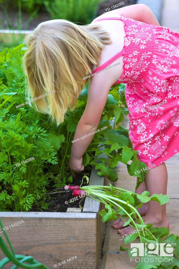 Stock Photo: Young girl picking radish from a raised bed.