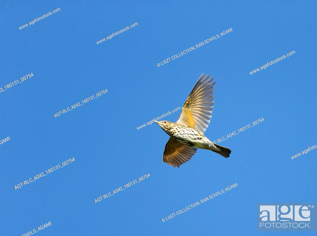 Stock Photo: migrating Song Thrush against blue sky, Song Thrush, Turdus philomelos.